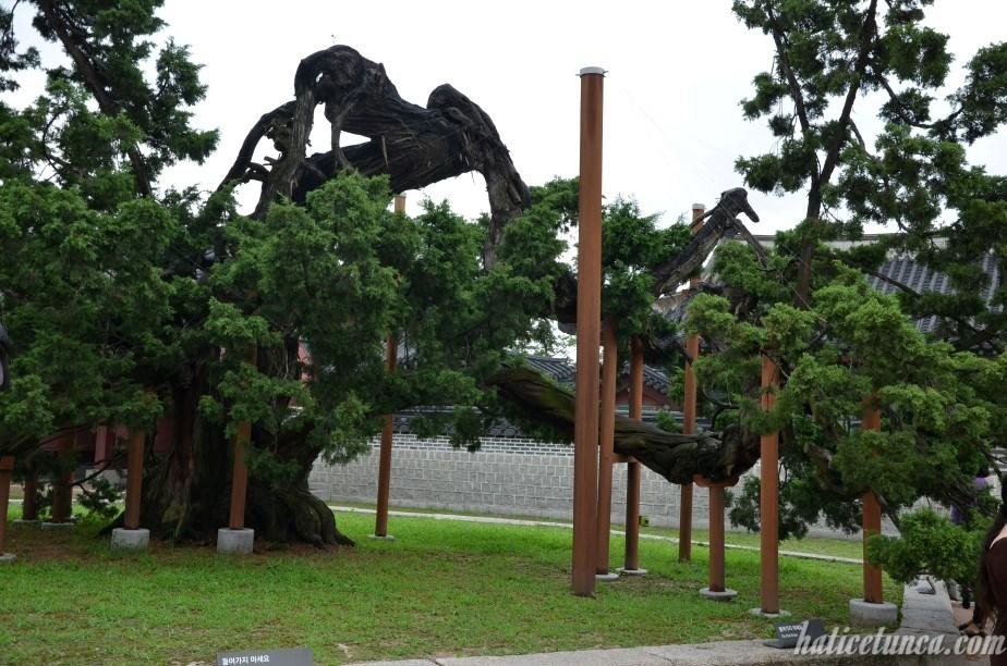 Hyangnamu tree