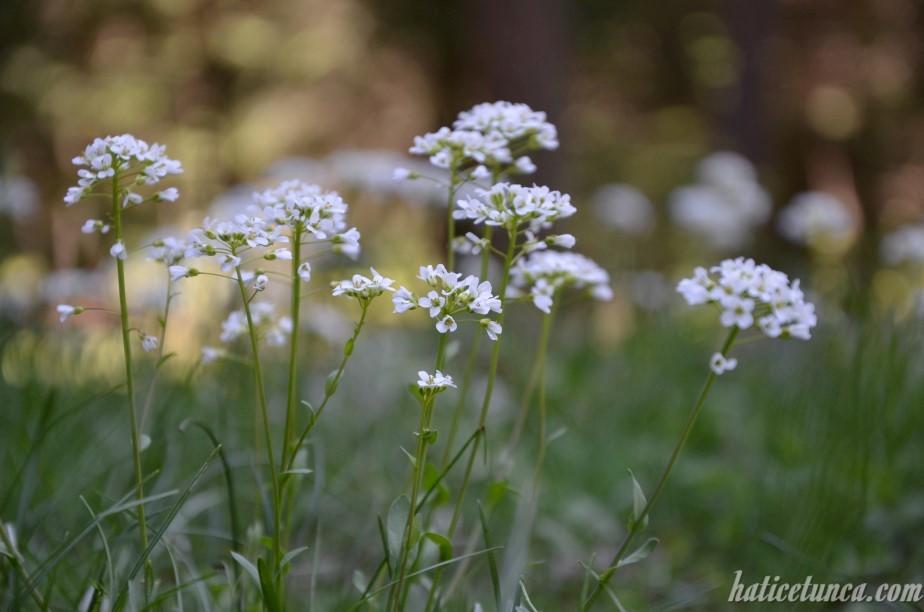 Beyaz dağ çiçekleri
