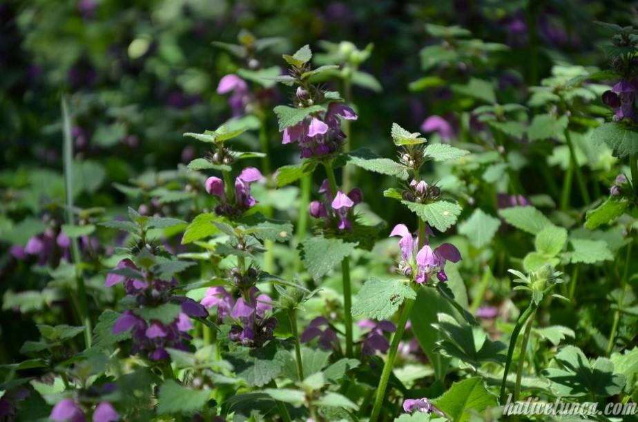 Ballıbaba çiçekleri
