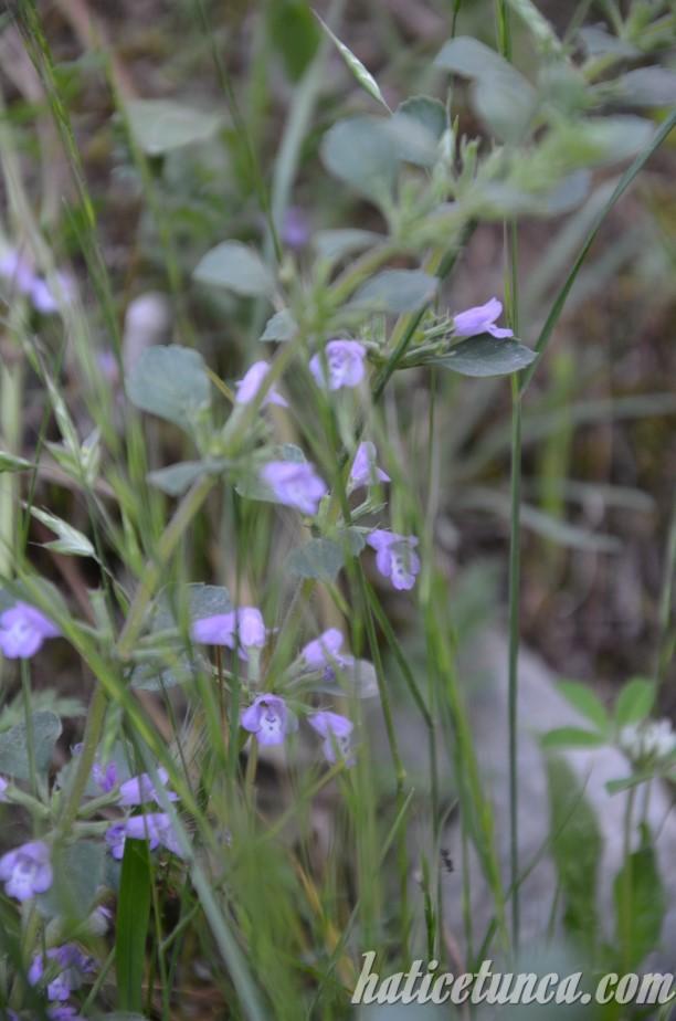 Matka Kanyonu çiçekleri
