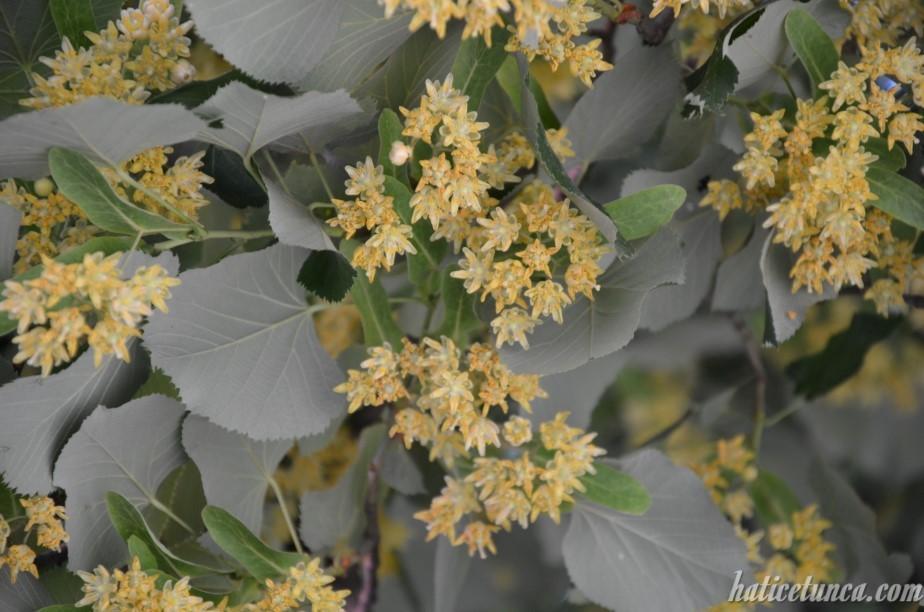Ihlamur çiçekleri
