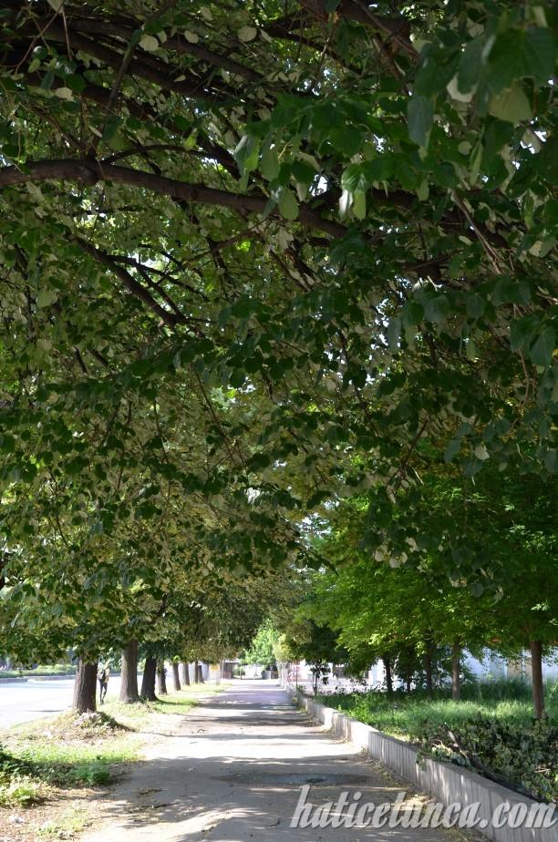 Ihlamur ağaçları
