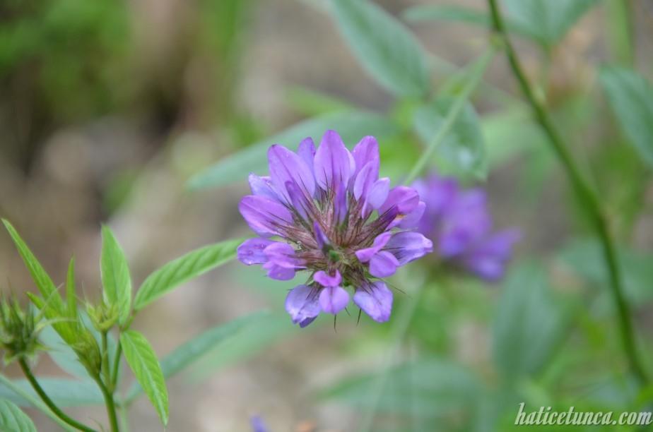 Fiğ çiçeği
