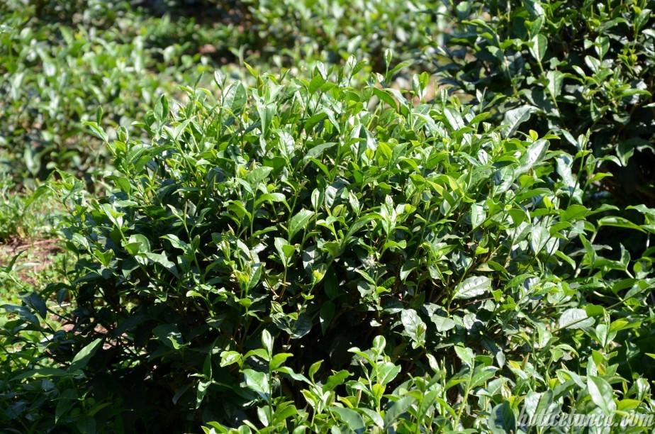 Botanik Çay Bahçesi