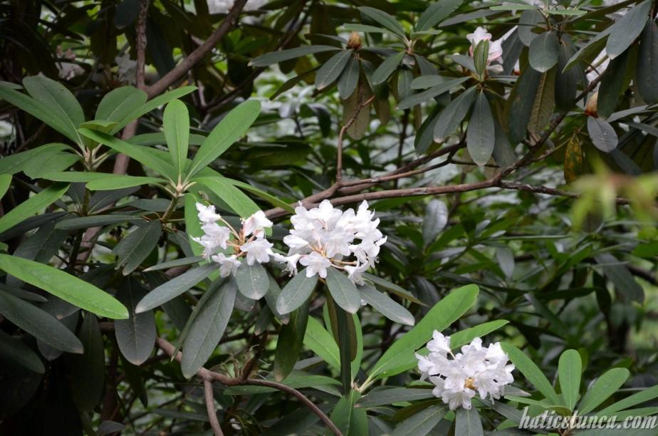 Beyaz orman gülü