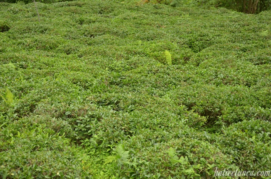 Çay bitkisi