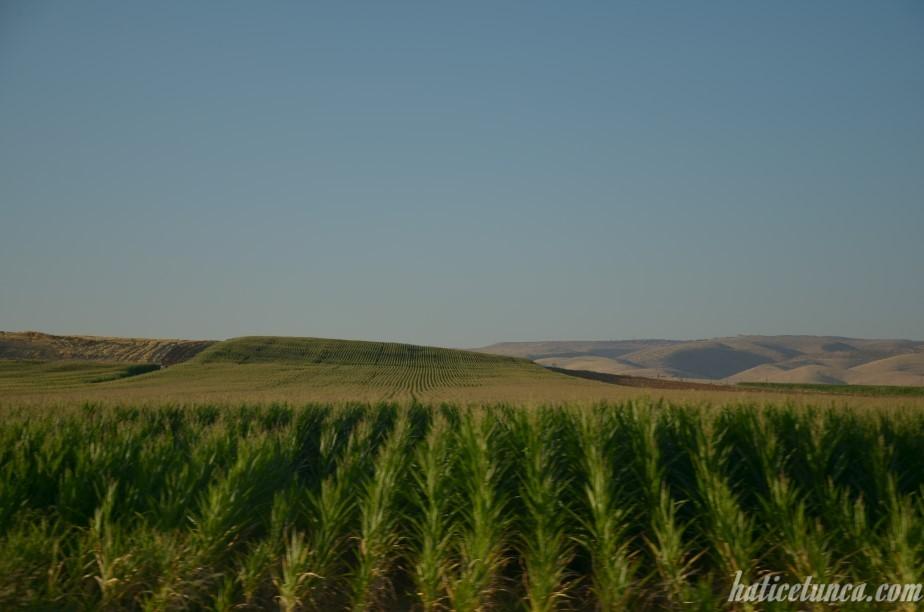Mısır tarlaları